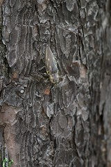 Chalcophora japonica (kenta_sawada6469) Tags: wood macro nature forest bug insect wildlife beetle insects bugs beetles mimicry jewel coleoptera buprestidae jewelbeetle