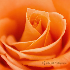 7 August 2015 (Kitty W) Tags: macro rose lensbaby petals flora orangerose rosepetals naturethroughthelens lensbabycomposerpro