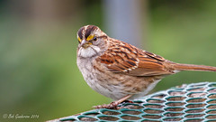 "White-throated Sparrow - ""Eye to eye"" (Bob Gunderson) Tags: birds california fortmason northerncalifornia sanfrancisco sparrows whitethroated zonotrichiaalbicollis"