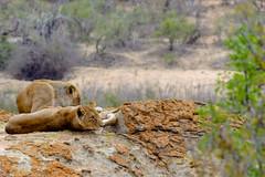 Roadtrip South Aftrica (Sebastian Meier) Tags: 2016 highlight safari südafrika