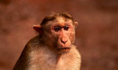 emotions  !!! / lost the  hope  ? (Rajavelu1) Tags: animalphotography animals monkey expression eyes face art artland creative canon6d outdoorphotography depthoffield bokeh simplysuperb