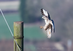 Common Buzzard (Follow Me Follow You) Tags: stevenwaddinghamphotography bird wilk nature prey raptor