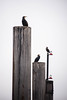 Peering from the pier (marktmcn) Tags: cormorant cormorants bird trio birds perched top wood wooden pillars columns lights foggy backdrop peering sitting waiting greenland pier surrey docks river thames london d610 nikkor 28300mm