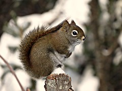 Squirrel pole sitting at Daly Point in Bathurst (clickclique) Tags: squirrel tree pose winter dalypoint newbrunswick snow nature animal outdoors mammal inexplore