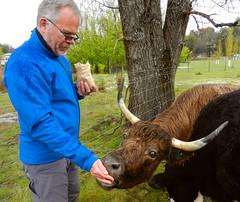 Hungry for treats (LeelooDallas) Tags: australia tasmania tarraleah lodge tree cattle animal cow landscape dana iwachow nikon coolpix s9100 steve