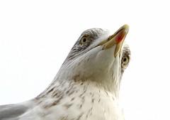 Eyes in the sky! (SteveJM2009) Tags: gull seagull eyes watching beak plumage pov lookingdown branksome poole dorset uk december 2016 stevemaskell