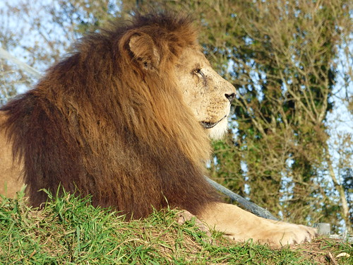 South Lakes Zoo - lion (5)