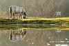 Eijsden - Holland (2011) (Robert Claessens) Tags: robert bob claessens automne automn herfst cheveaux cheval horse paard parden reflet reflets reflection eau water eijsden holland nature natuur