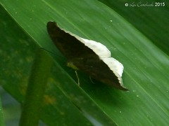 Grey count (LPJC) Tags: d11 kerala india 2015 lpjc butterfly greycount