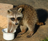 Obsessive (squiggy68) Tags: explore raccoon animals wildlife nature