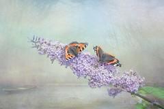 Buddleia Dreams (June Ross Photography) Tags: colour garden butterfliescompositephotoshopnopeople texture blue flowers