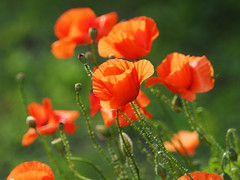 Maki Mohnblumen Poppyflower (arjuna_zbycho) Tags: mak maki makpolny czerwonemaki kwiatypolne mohn mohnblumen coquelicots pavots popyflower popy klatschmohn papaverrhoeas mohnblume klatschrose cornpoppy cornrose fieldpoppy flanderspoppy redpoppy redweed közönségespipacs vetésipipacs papaverocomune rosolaccio gatunekleczniczy heilpflanze hausmittel kwiat blume flower fleur popies fleurs natur flora