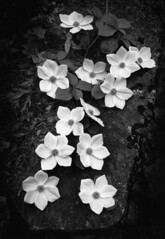 Ansel Adams (Peer Into The Past) Tags: peerintothepast blackandwhitephotography nationalpark california yosemite blossoms dogwood anseladams