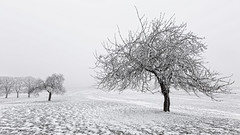 Frozen trees in the fog (Axel Steinars.) Tags: suisse switzerland canon tree snow winter