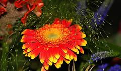 Gerbera (abrideu) Tags: abrideu canoneos100d gerbera flower flowers depthoffield bright bokeh macro orange plant indoor ngc npc
