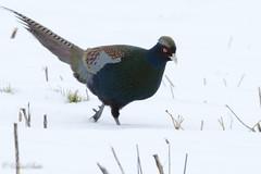 雪の中のキジ pheasant (shin4433) Tags: bird nikon d500 nature snow pheasant