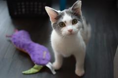 Ferrang (moonyungk) Tags: cats kitten babycat ferrang