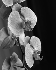 Orchids (Howard Sandler (film photos)) Tags: orchids largeformat 4x5 graflex pacemaker speedgraphic hp5 wollensak optar xtol film blackandwhite flowers