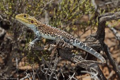 Painted Dragon (Ctenophorus pictus) (Stephen Mahony) Tags: ctenophoruspictus painteddragon ctenophorus pictus painted dragon australia nsw agamidae reptile lizard south arid zone male colour