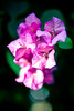 Pink Bloom (rg69olds) Tags: 12262016 50mm 6d canondigitalcamera lauritzengardens nebraska sigma50mmf14artdghsm canon canoneos6d flowers omaha plants poinsettia sigma sigma50mmf14 50mmf14dghsm a bloom pink plant petals greenhouse indoor