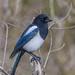 Bogey Bird (davidrhall1234) Tags: magpie birds bird birdsofbritain wildlife world wildlifetrust ywt yorkshire yorkshirewildlifetrust adeldamnaturereserve tree feather forest woodland nikond7100 nature nikon