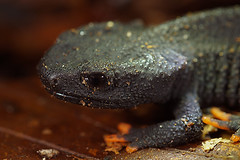 Tylototriton lizhenchangi, CB juveniles (henk.wallays) Tags: aaaa amphibia bộcóđuôi chordata caudata henkwallays krokodilmolche kuyruklukurbağalar nature pyrstösammakot płazyogoniaste salamandern salamandridae semenderler tylototriton tylototritonlizhenchangi amfibie amfibien amphibie amphibien anfíbios caudado caudados closeup crocodilenewt farkoskétéltűek gewervelden krokodilsalamander lurche macro mlok molche natuur newt salamander salamandras salamanterieläimet schwanzlurche triton urodela urodele urodelos vertebrata vertebrate wildlife земноводні хвостаті саламандра 鯢