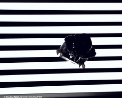 crossing (NadzNidzPhotography) Tags: nadznidzphotography softbox zebracrossing zebralanes stripes blackandwhitephotography blackandwhite