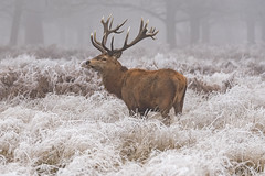 Red Deer Stag Landscape (Gary Hickson Photography L.R.P.S.) Tags: reddeer stag stags animal wildanimal wildlife wild richmondpark surrey london frost ice winter antlers landscape nikon d750