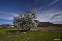 Por tierras de Villavaquerín (Anpegom fotografía) Tags: villavaquerín valladolid castillayleón españa spain almendro camposcastellanos castilla tierra tierrasdelabor cereales cerros lomas