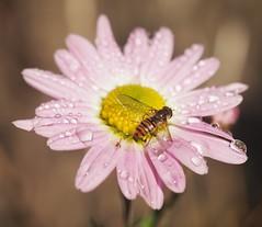 Blinde Bij (Robbie BB) Tags: zweefvlieg blindebij hoverfly schwebfliegen insect druppel drops raindrops
