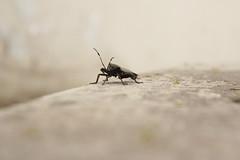 Has (Martins817) Tags: insecto pared gris blanco negro raro animal airelibre monocromatico macrofotografia