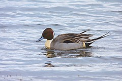Pintail (male) (ChrisPy63) Tags: winter britishbirds uk swimming water outdoors silverdale lancashire sigma nikon nature rspbleightonmoss rspb pintail birds bird duck