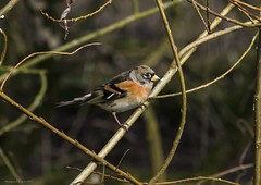 brambling (Themagster3) Tags: birds birdinginthewild britishbirds photosof