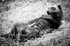 Sunbathing glutton (Gaiapark Zoo Kerkrade, 2008) (PaulHoo) Tags: bw animal relax zoo lying relaxed 2008 vignetting vignette glutton sunbathing kerkrade gaiapark