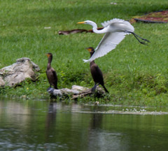 06-30-15-000001158.jpg (Lake Worth) Tags: bird nature birds animal animals canon wings florida wildlife feathers wetlands everglades waterbirds southflorida 2xextender sigma120300f28dgoshsmsports