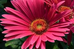 Gerbera Daisy (robtm2010) Tags: usa flower canon lexington massachusetts newengland daisy t3i gerberadaisy wilsonfarm