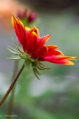 Gaillardia (Yorkey&Rin) Tags: summer flower macro japan july olympus neighborhood  gaillardia kanagawa rin kawasaki 2015  em5   pc236598 olympusm60mmf28macro