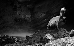 20140708-PE7C3147-Edit-2 (Swaranjeet) Tags: pelican pelicans galapagos ecuador bird largebirds july2014 sjs swaran swaranjeet swaranjeetsingh sjsvision sjsphotography swaranjeetphotography 2014 canon fullframe 5dmkiii eos5dmkiii dslr eos canoneos5dmkiii full frame canonef70200f28lisiiusm ef 70200 f28 is eos5diii singh photographer thane mumbai india indian