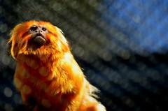 watching-edited (Brandywine Zoo) Tags: golden lion tamarins