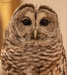 Barred Owl (gerilynns) Tags: eyesonowls audoban maine birds predators feathers wings faces