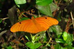 Julia Butterfly (YoungSue) Tags: juliabutterfly