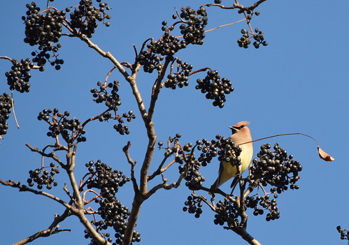 Cedar Waxwing On Corktree