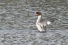 Goosander (Female) (kevinwolves) Tags: goosander bird himleyhall himley kevinwolves water nature wildlife nikon nikond300 nikon55300mmvr kenko kenkoteleplus14x