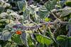winter is coming (Pat Celta) Tags: nikon d7000 macro macrofotografía 60mm xiada galicia winter