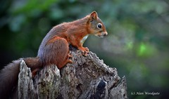 Red Squirrel - Isle of Wight (Alan Woodgate) Tags: wild