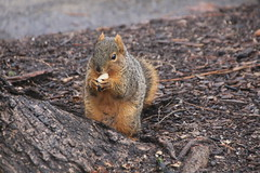 Wet Squirrels in Ann Arbor at the University of Michigan (January 20, 2017) (cseeman) Tags: gobluesquirrels squirrels annarbor michigan animal campus universityofmichigan umsquirrels01202017 winter eating peanut januaryumsquirrel cavitynest climber squirrelclimber climbing wet umsquirrel foxsquirrels easternfoxsquirrels michiganfoxsquirrels universityofmichiganfoxsquirrels