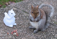 """"""" """" Oi """"  that's my nut's mate """" (seanwalsh4) Tags: squirrel wild nuts nutty sean walsh bristol funny laughs nice cute joke peanuts food plastic castlegreen wet damp young pouncing"""