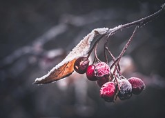 Winter is coming (Stadt_Kind) Tags: naturephotography nature pflanze plant pop flickr new olympusem10markii olympusm124028pro getolympus germany bavaria kempten stadtkind depthoffield doflicious dof bokehlicious bokehaddicts bokeh berries frost winter