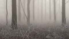 Ghosts (jellyfire) Tags: forest hoxne landscape landscapephotography sonnartfe55mmf18za sony sonya7r winter atmospheric cold fog frozen hoarfrost leeacaster mist trees woods wwwleeacastercom zeiss