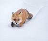 Red fox (missymandel) Tags: redfox fox ontariowildlife wildlife winterfox missymandel brilliant